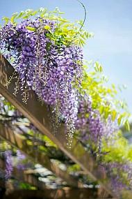 Du lịch Nhật Bản Fuji có thể hoa mùa lấp lánh