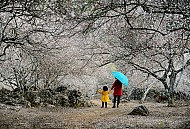 Giấc mơ Hoa đã nở trắng rừng Mộc Châu